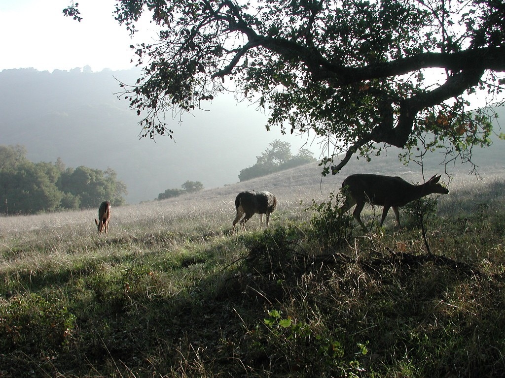 Lovely thing about the Bay Area, you're never more than 15-20 minutes from the trails. Rancho San Antonio, in the Coastal Range, offers 3,000+ acres of wildland with 20+ miles of solitudinous ambling.